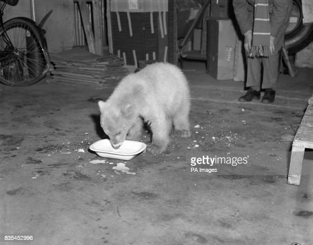 Spitfire the polar bear cub enjoys a drink of milk at London Airport before commencing the next stage of her journey Spitfire born at Nuremberg Zoo...