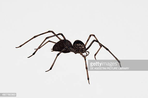 Spitting spider Scytodidae Artwork by Rebecca Hardy