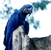 Spix's macaw parrot sitting on the tree. Tropical bird close up