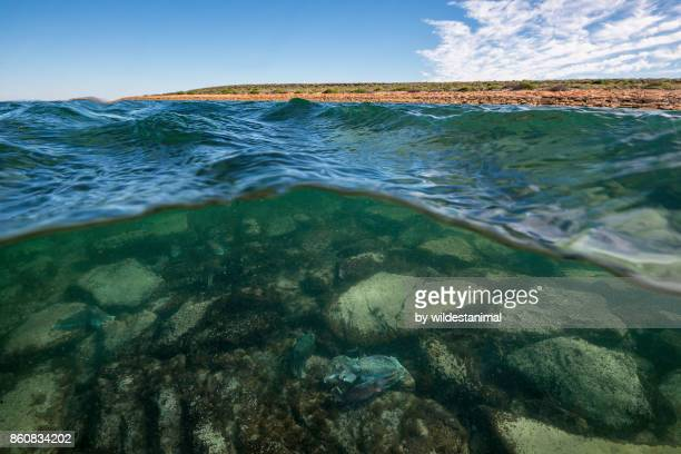 Split image showing Australian giant cuttlefish in shallow water and the surrounding coastline, Whyalla, South Australia.
