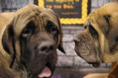 Spock and Captain Kirk Mastiffs take part in the second annual 'Meet the Breeds' showcase of cats and dogs at the Jacob K Javits Convention Center on...