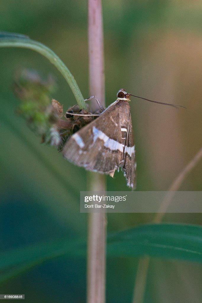 Spoladea recurvalis Moth : Stock Photo