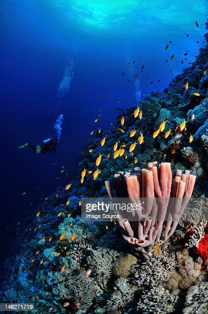 Sponge and fish in the Red Sea, Egypt