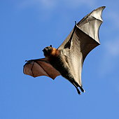 A fruit bat in flight with wings out stretched. Look closely and see the veins in the wings. This is a grey headed flying fox, the largest of the flying foxes. Image taken in Melbourne, Australia.