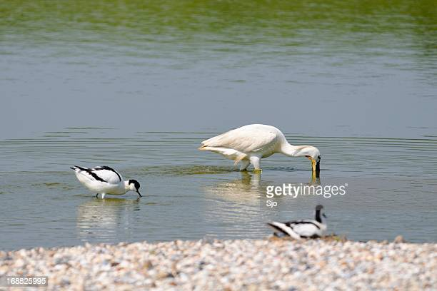 Spoonbill and Pied Avocets