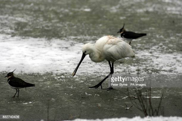 A Spoonbill takes tentative steps on the ice at Chester Zoo