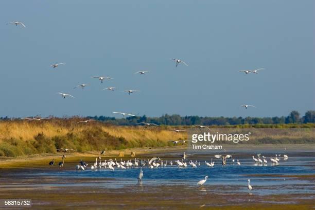 Spoonbills and herons Ars en Re Ile de Re France