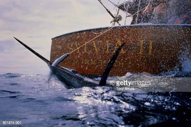 Sport fishing, blue marlin at bow of boat, USA