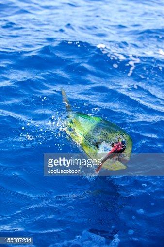 Sports: Dorado Fish on the line