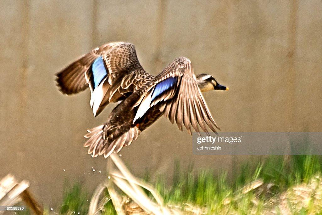 Spot Billed Duck in Flight : Stock Photo