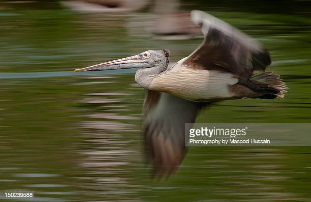 Spot billed pelican in flight