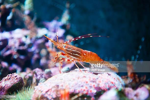 Crevettes tachetées