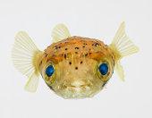 Spot-fin porcupinefish (Diodon hystrix)