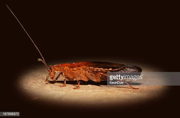 Spotlight on a Cockroach