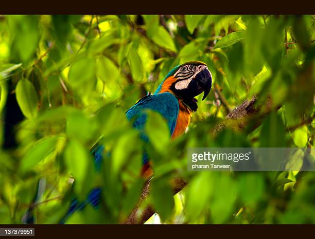 Spotted blue golden macaw