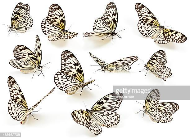 Spotted Butterflies isolated on white