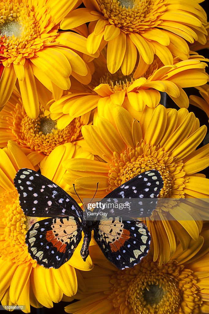 Spotted butterfly on yellow mums : Stock Photo