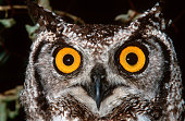 Spotted Eagle Owl Eyes