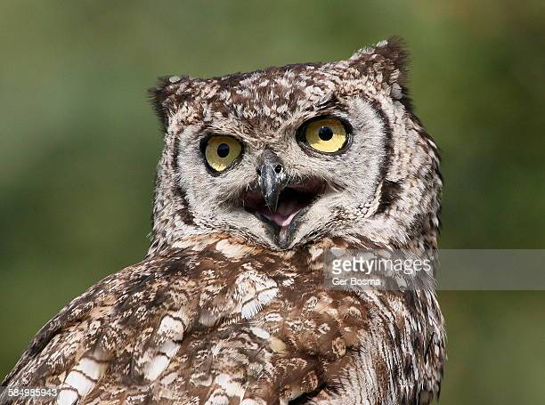 Spotted eagle owl hooting