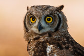 Spotted Eagle Owl, Kgalagadi Transfrontier Park, Africa
