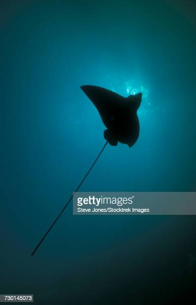 Spotted eagle ray silhouetted against the sun, Maldives.