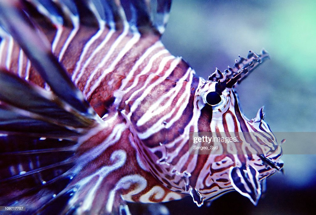 Spotted Fin Lion Fish 02 : Stock Photo