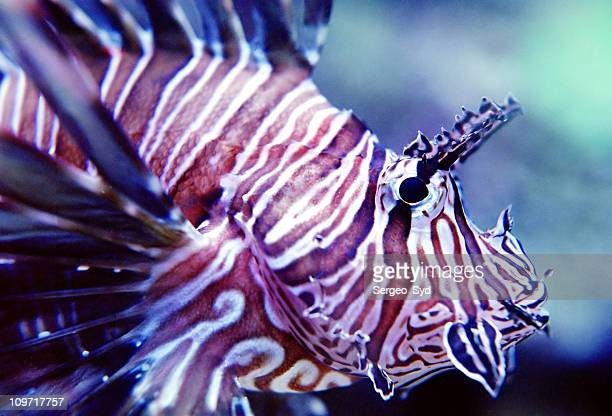 Spotted Fin Lion Fish 02