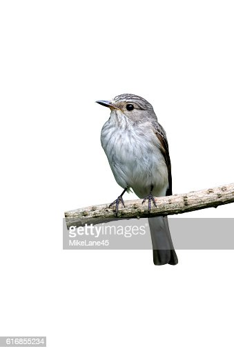 Spotted flycatcher, Muscicapa striata : Stock Photo
