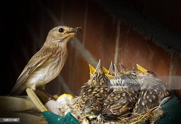 Gepunktete Schnäpper mit fünf Baby Vögel