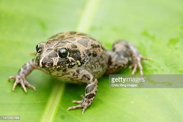 Spotted frog on leaf