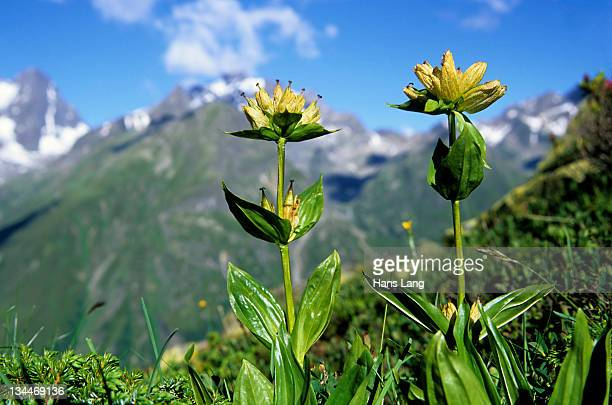 Spotted Gentian (Gentiana punctata), Pitztal, Tyrol, Austria, Europe