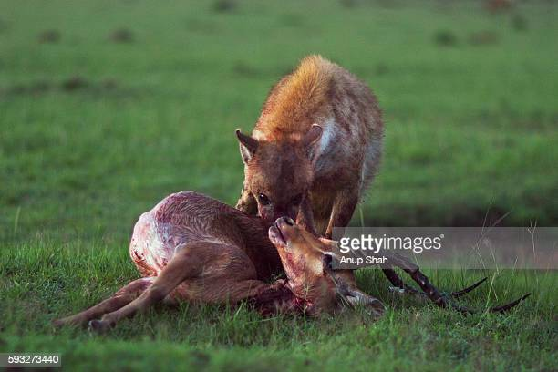 Spotted hyena feeding on a carcass of an Impala
