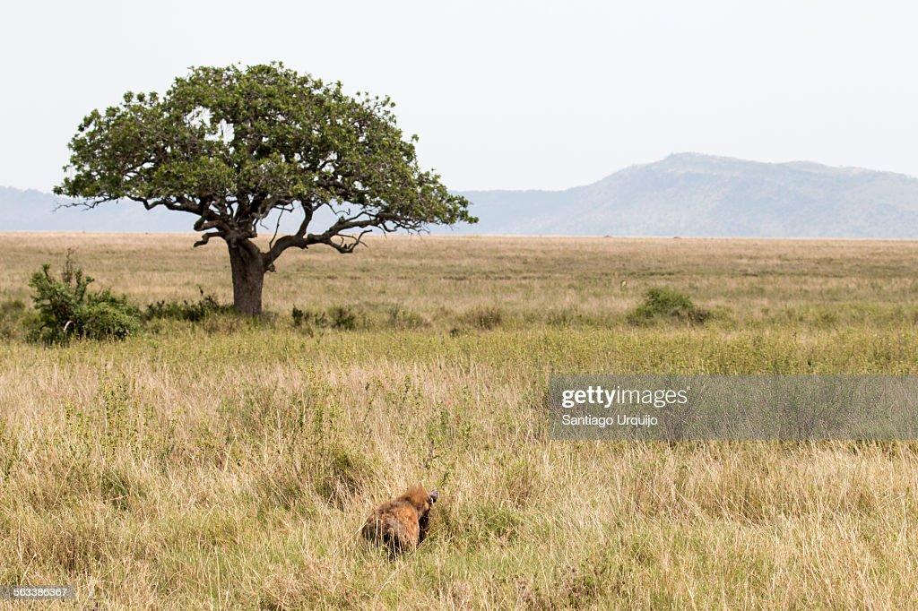 Spotted hyena on the grassland plains of Serengeti