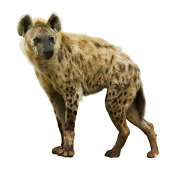 Spotted hyena (Crocuta crocuta). Isolated  over white background
