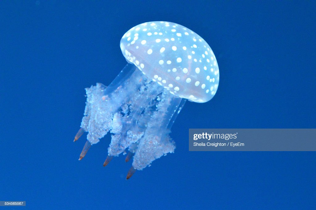 Spotted Jellyfish In Sea