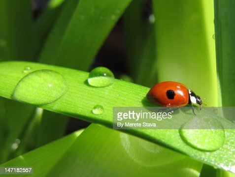Spotted ladybug, Adalia bipunctata : Stock Photo