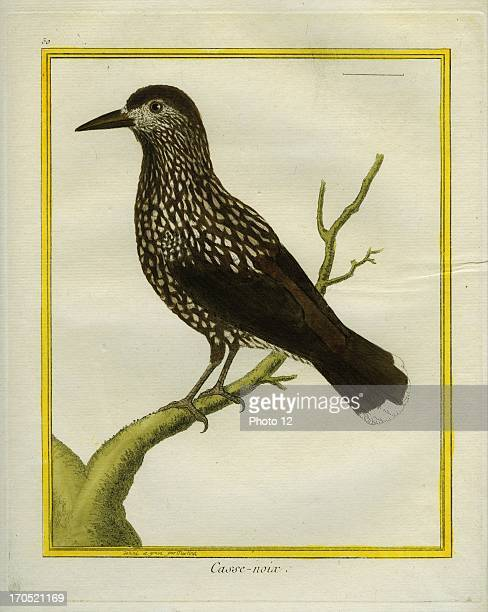 Spotted Nutcracker Nucifraga caryocatactesSpotted NutcrackerGeorgesLouis Leclerc Comte of Buffon 'Natural History of birds fish insects and reptiles'...
