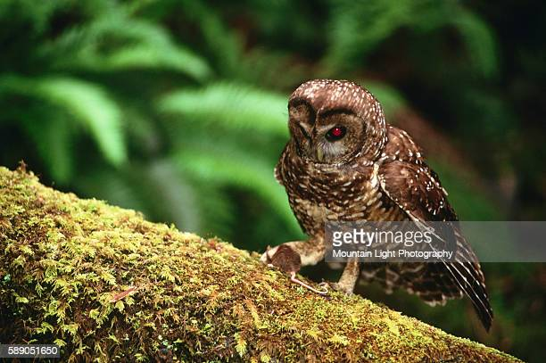 Spotted Owl Eating Mouse