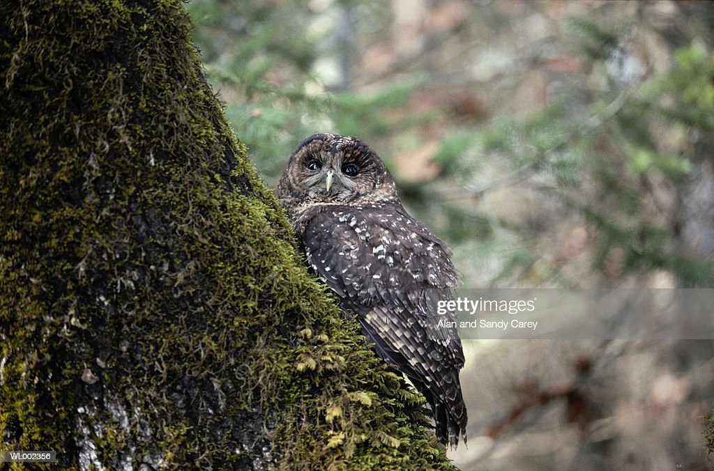 Spotted owl (Strix occidentalis) perching on tree trunk : Stock Photo