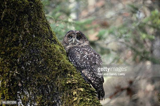 Spotted owl (Strix occidentalis) perching on tree trunk
