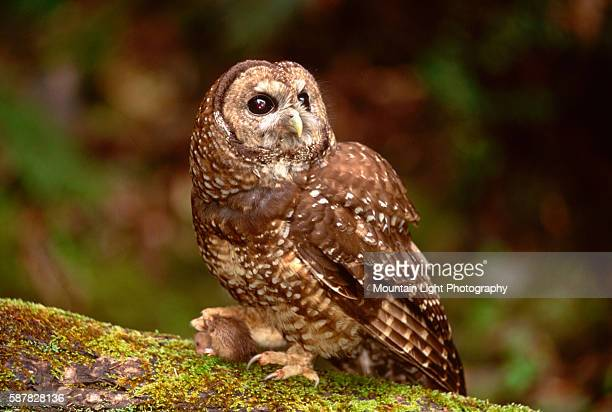 Spotted Owl With Mouse