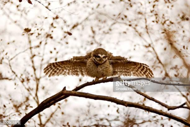 Spotted owlet athene brama staring, Ranthambore national park, Rajasthan, India