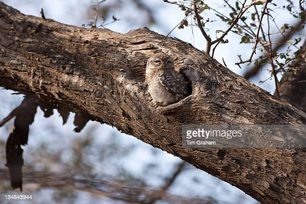 Spotted Owlet bird Athene brama in Ranthambhore National Park Rajasthan Northern India
