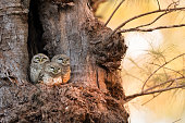 Three Spotted owlets  standing at nest roost site hollow tree
