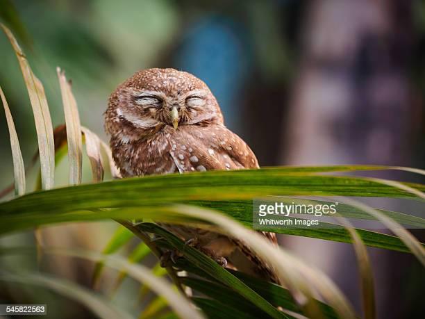 Spotted Owlet (Athene brama) in Chitwan, Nepal