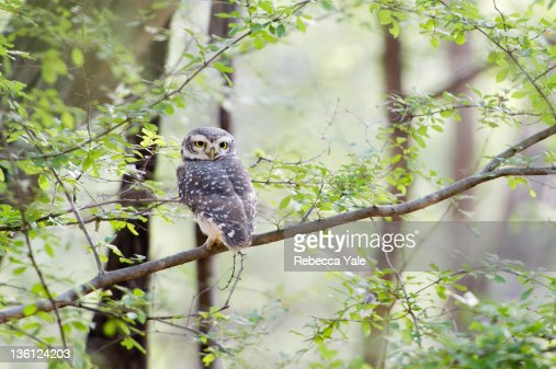 Spotted owlet on branch : Stock Photo