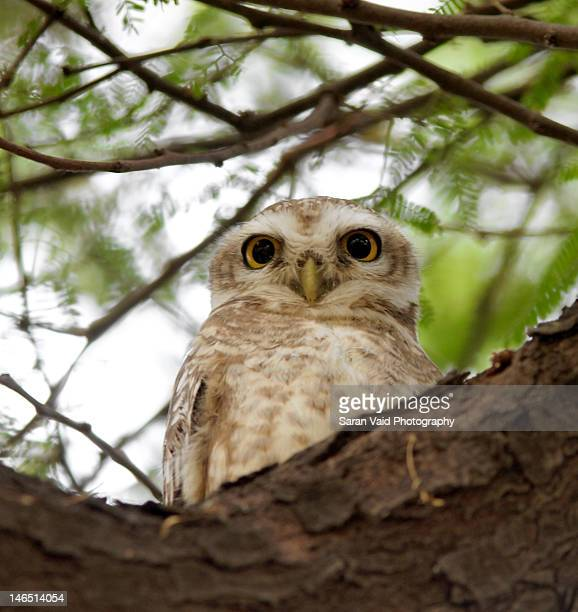 Spotted owlet portrait