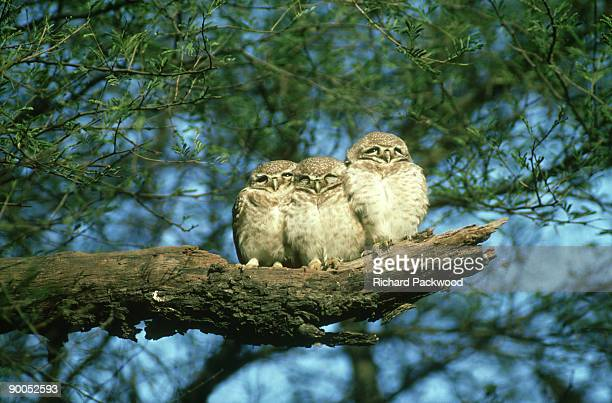 spotted owlets: athene brahma,  huddled for warmth - cold morning, bharatpur bird sanctuary,india