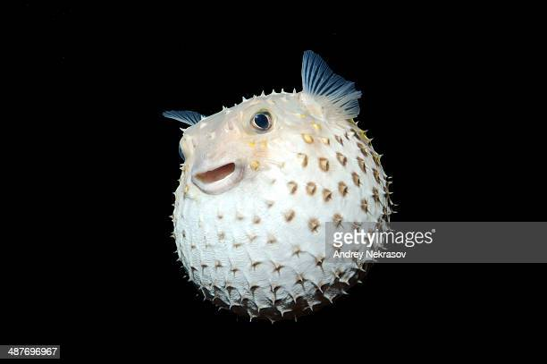 Spotted Porcupinefish -Diodon hystrix-, Red Sea, Egypt