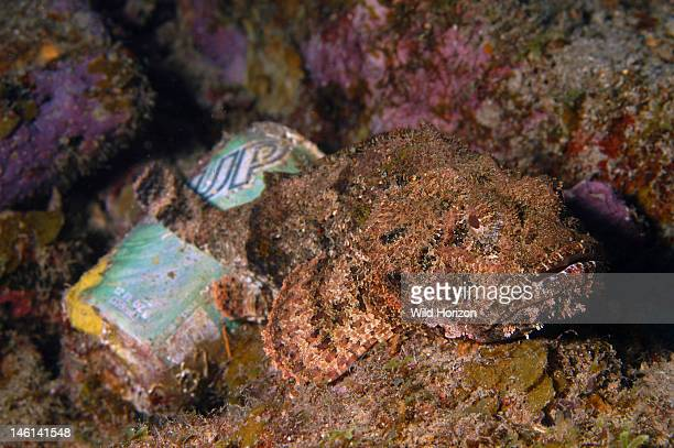 Spotted scorpionfish resting on 7UP can Scorpaena plumieri Curacao Netherlands Antilles Digital Photo